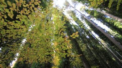 Faggi-gargno-foresta-umbra