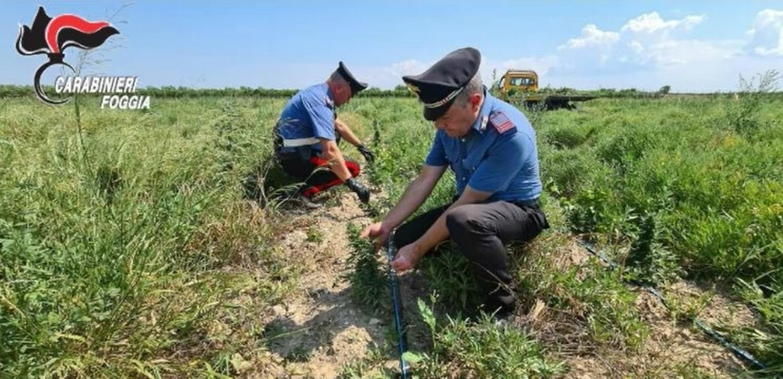 piantagione cannabis trinitapoli